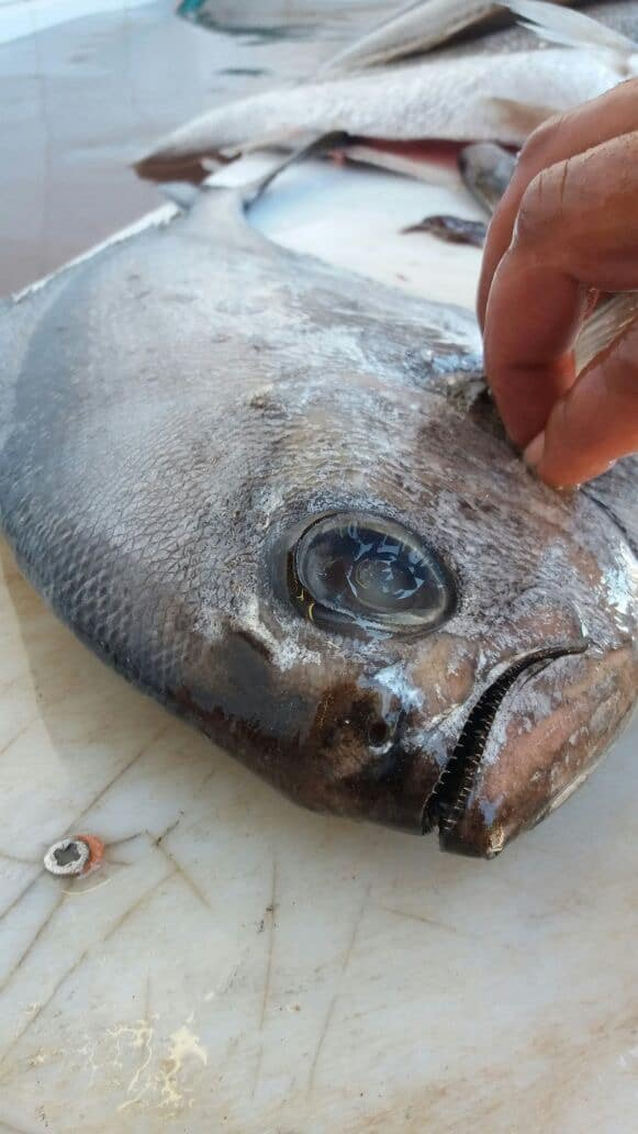 grilled angel fish